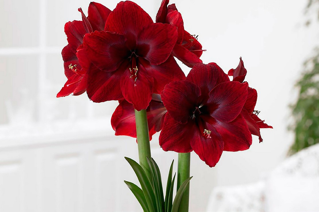Bring Color to Someone's Winter: Amaryllis Bulbs Make Great Gifts