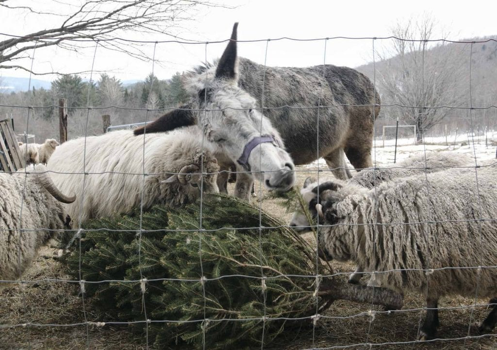 Luna the donkey enjoys a seasonal snack—a discarded Christmas tree—at the McCoy farmstead in Randolph Center. (Herald / Dylan Kelley)